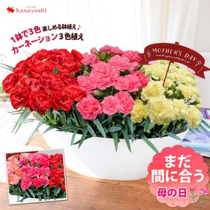 早割 母の日 ギフト 花 鉢植え 送料無料 1鉢で3色楽しめ...