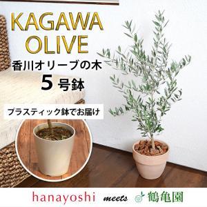 あすつく オリーブ 鉢植え 鶴亀園さんの香川オリーブの木 5号鉢オリーブの木 観葉植物 インテリア ...