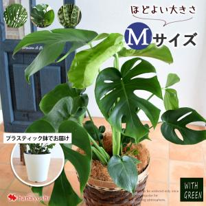 鉢カバー付き 選べる観葉植物 Mサイズ おしゃれ 育てやすい インテリア モンステラ  サンスベリア...