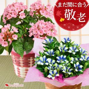早割 敬老の日 ギフト 花 プレゼント におい桜やリンドウ・ベコニアなど7種類 から選べる大きな5号鉢 鉢植え バスケット付<つぼみがちな状態でお届け>|hanayoshi-y