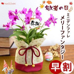 早割 敬老の日 送料無料 気品の蘭を贈る〜 デンファレ メリーファンタジー 洋ラン 蘭 鉢植え 鉢花|hanayoshi-y