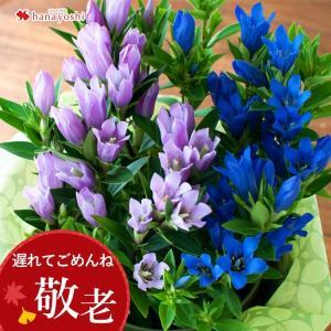 早割 敬老の日 花 ギフト プレゼント 珍しいりんどう2色植え 鉢植え 5号鉢 リンドウ 鉢花 祖母 祖父 敬老の日ギフト限定|hanayoshi-y