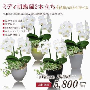 ミニ胡蝶蘭2本立ち アマビリス +アイビー寄せ植え 選べる4種類の鉢 ミディ胡蝶蘭 コチョウラン の商品画像|ナビ