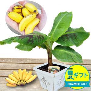 やわらかくて濃厚な甘味が特徴の「モンキーバナナ」 バナナの実の大きさは約10cmぐらいのかわいいサイ...