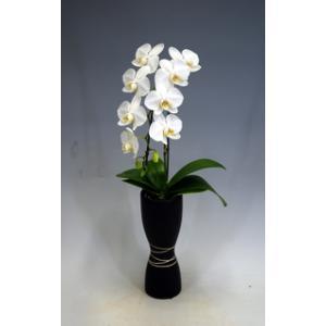 ミニ胡蝶蘭アマビリス1本立ち7輪前後 つぼみ含む  凛ホワイト  つぼみ多めです。 厚紙札木札はお付けできません。送料無料 heart-flower