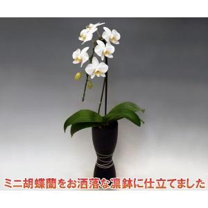 ミニ胡蝶蘭アマビリス1本立ち7輪前後 つぼみ含む  凛ブラック  つぼみ多めです 厚紙札木札はお付けできません 送料無料|heart-flower