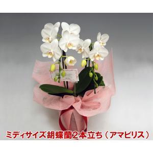 ミニ胡蝶蘭2本立ち 白のアマビリス 14輪前後 つぼみ含む  蘭の王様胡蝶蘭|heart-flower