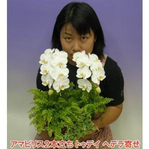 アマビリス2本立ち12輪前後 つぼみ含む  トゥデイ ヘデラ寄せ  2010年名古屋国際蘭展 最優秀賞&グランプリを受賞したスズキラン園から産地直送 heart-flower