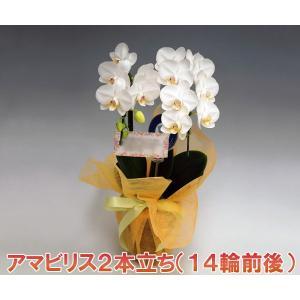 ミニ胡蝶蘭2本立ち アマビリス 14輪前後 つぼみ含む 母の日におすすめの多年草 つぼみ多めで出荷となります heart-flower