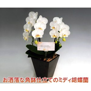 ミニ胡蝶蘭2本立ち14輪前後 つぼみ含む  アマビリス  角鉢  つぼみ多めでの出荷となります。送料無料 heart-flower