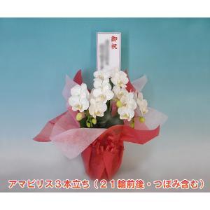 多年草 ミディ胡蝶蘭3本立ち アマビリス 1日10鉢限定セール  22%OFF  現在つぼみ多めになります|heart-flower