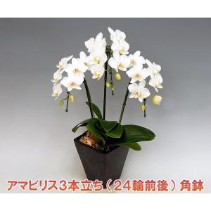 胡蝶蘭3本立ち24輪前後 アマビリス つぼみ含む  角鉢 つぼみ多めでの出荷となります。 新築祝いに heart-flower