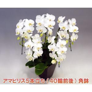ミディ胡蝶蘭5本立ち アマビリス 40輪前後 つぼみ含む 角鉢仕立て つぼみ多めでの出荷となります。新築祝いに heart-flower