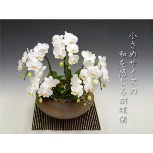 洋蘭の鉄人が育てた和風胡蝶蘭 アマビリスミディサイズ5本立ち つぼみ多めでの出荷となります。|heart-flower