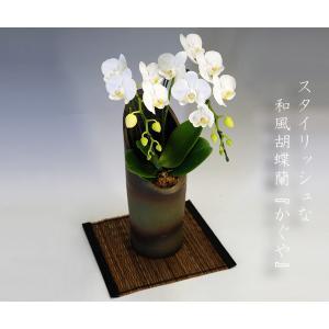 和風胡蝶蘭 アマビリス2本立ち14輪前後 つぼみ含む  つぼみ多めでの出荷となります。 |heart-flower