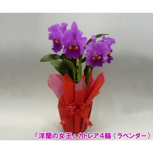 送料無料 蘭の女王 カトレア 4輪 インパクト大 最高級の洋蘭です。|heart-flower