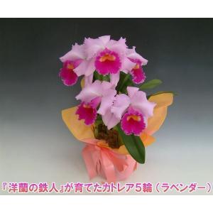 カトレア5輪   花持ち期間は約1週間です。花色は季節によって多少異なります。洋蘭の鉄人森田氏が育てた 蘭の女王|heart-flower