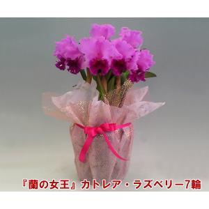 蘭の女王カトレア 7輪 インパクト大 最高級の洋蘭です。送料無料産地直送でお届け|heart-flower