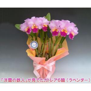 カトレア6輪   花持ち期間は約1週間です。花色は季節によって多少異なります。洋蘭の鉄人森田氏が育てた 蘭の女王|heart-flower