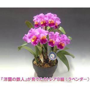 カトレア8輪   花持ち期間は約1週間です。花色は季節によって多少異なります。洋蘭の鉄人森田氏が育てた 蘭の女王|heart-flower