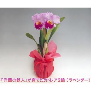 カトレア2輪 花持ち期間は約1週間です。花色は季節によって多少異なります。送料無料 洋蘭の鉄人 森田氏が育てた 蘭の女王|heart-flower