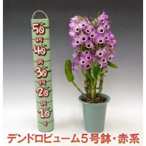 産地直送 デンドロビューム赤系5号鉢 どの角度からでも楽しめる洋らん お祝いの贈り物に最適です。|heart-flower