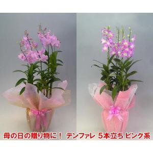 産地直送 デンファレ5本立ち赤系 華やかな洋らん お祝いの贈り物に最適です。|heart-flower