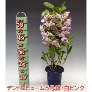 産地直送 デンドロビューム白ピンク系5号鉢 どの角度からでも楽しめる洋らん お祝いの贈り物に最適です。|heart-flower