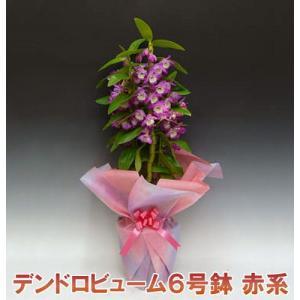 産地直送 デンドロビューム赤系6号鉢 どの角度からでも楽しめる洋らん お祝いの贈り物に最適です。|heart-flower