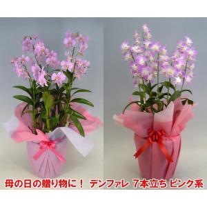 産地直送 デンファレ7本立ち赤系 華やかな洋らん お祝いの贈り物に最適です。|heart-flower
