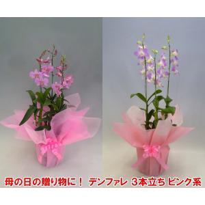 産地直送 デンファレ3本立ち赤系 華やかな洋らん お祝いの贈り物に最適です。|heart-flower