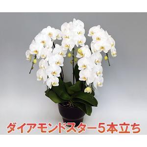 胡蝶蘭5本立ちダイアモンドスター 40輪前後 つぼみ含む  ホワイト 最高級の胡蝶蘭 送料無料|heart-flower