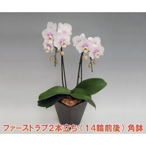 ミニ胡蝶蘭2本立ち ファーストラブ 14輪前後 つぼみ含む  角鉢  つぼみ多めでの出荷となります。送料無料|heart-flower
