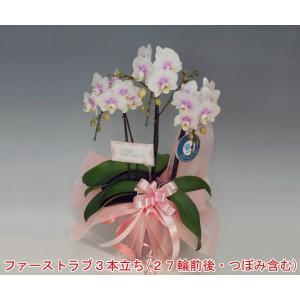 ミディーサイズ胡蝶蘭3本立ちファーストラブ27リン前後 つぼみ含む 30%OFF つぼみ多めでの出荷となります。|heart-flower