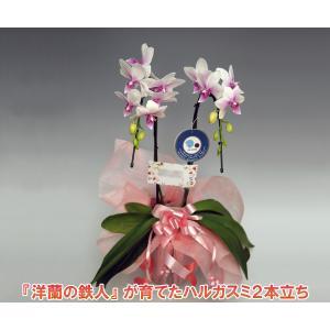 ミニ胡蝶蘭2本立ち ハルガスミ 14輪前後 つぼみ含む 温室から直送 17%OFF つぼみ多めでの出荷となります。|heart-flower