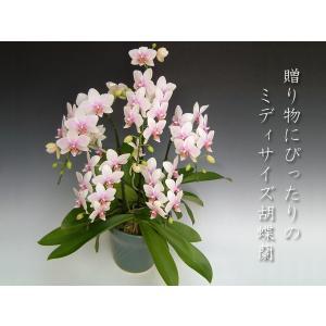 胡蝶蘭5本立ち 中輪 ハルガスミ 還暦祝いなどの贈答品に 送料無料|heart-flower