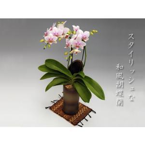 和風胡蝶蘭 ハルガスミ2本立ち  14輪前後  つぼみ多めでの出荷となります。|heart-flower