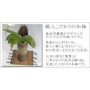 和風胡蝶蘭 ハルガスミ2本立ち  14輪前後  つぼみ多めでの出荷となります。|heart-flower|02