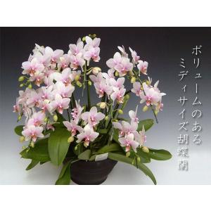 ミディ胡蝶蘭8本立ち ハルガスミ  豪華洋ランギフト|heart-flower
