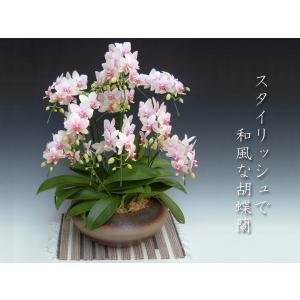 和風胡蝶蘭 ハルガスミ ミディサイズ8本立ち 開業祝いの贈答品に|heart-flower