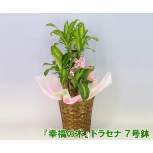 送料無料 観葉植物 幸福の木 ドラセナ マッサンゲアナ 7号鉢 高さ約100cm 開店祝い新築祝いにおすすめ|heart-flower