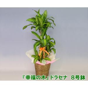 送料無料 「幸福の木」 ドラセナ マッサンゲアナ 8号鉢 高さ約120cm 観葉植物 開店祝い新築祝いにおすすめ|heart-flower