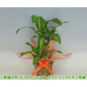 送料無料 「幸福の木」 ドラセナ マッサンゲアナ 観葉植物 5号鉢 高さ約50cm 開店祝い新築祝いにおすすめ|heart-flower