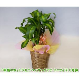 送料無料 観葉植物 幸福の木 ドラセナ マッサンゲアナ 6号鉢 高さ約60cm 開店祝い新築祝いにおすすめ|heart-flower