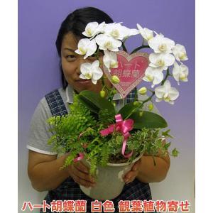 ネット限定販売 ハート胡蝶蘭ミディーサイズ  観葉植物寄せ  2010年名古屋国際蘭展 最優秀賞とグランプリを受賞したスズキラン園から産地直送|heart-flower