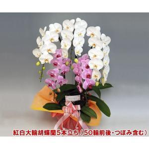敬老の日ギフト20%OFF 送料無料 普通の胡蝶蘭では物足りない方に ミックス胡蝶蘭 大輪2色ミックス 5本立ち50輪前後 つぼみ含む|heart-flower