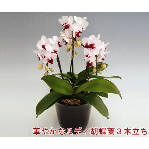 ミディ胡蝶蘭3本立ちリトルジェムストライプ24リン前後 つぼみ含む 華やかな赤リップが特徴 温室直送30%OFF|heart-flower