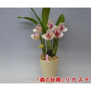 産地直送 『森の妖精』 リカステ 白×ピンク 7本立ち 清楚な雰囲気の鉢花です。 ギフトにぴったりの洋らんです。|heart-flower