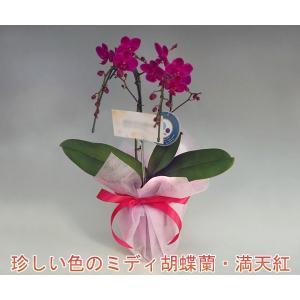 珍しい深紅のミニ胡蝶蘭 満天紅2本立ち14輪前後 つぼみ含む 送料無料 17%OFF つぼみ多めでの出荷となります。|heart-flower