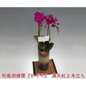 洋蘭の鉄人が育てたスタイリッシュな和風胡蝶蘭かぐや満天紅2本立ち14輪前後 つぼみ含む  つぼみ多めでの出荷となります|heart-flower